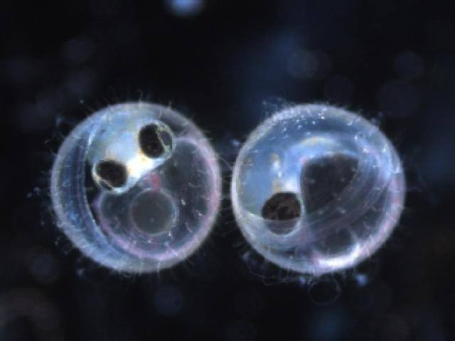 A microscopic view of two fish embryos